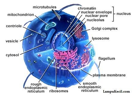 Nukleus Sel
