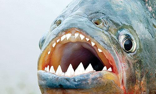 gigi piranha