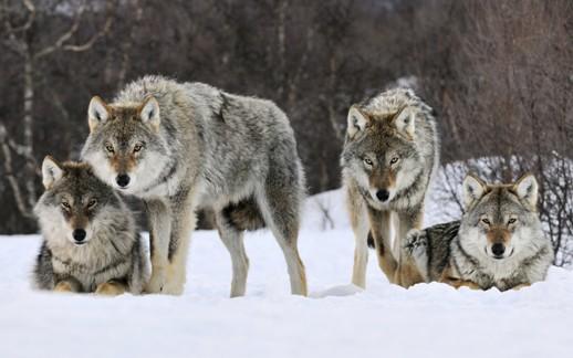 Kawanan Serigala