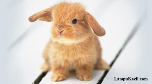 kelinci-imut-lucu