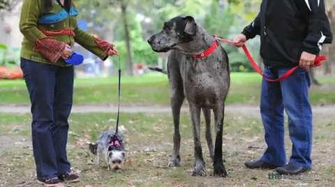 anjing-terbesar-didunia