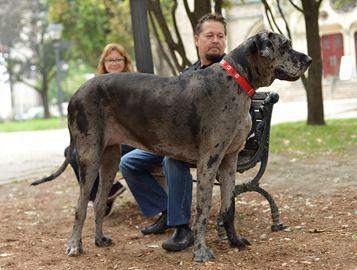 anjing-terbesar