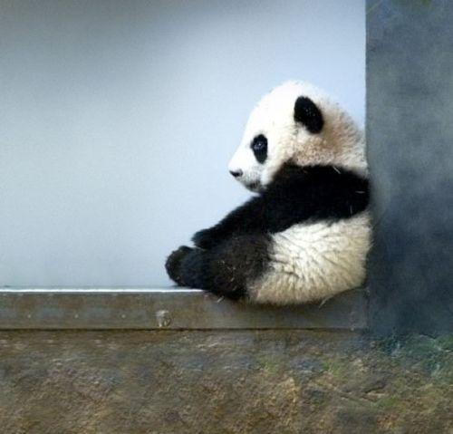 bayi-panda-lucu