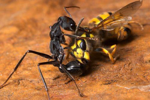 Bulldog Ants-semut banteng-semut-bulldog