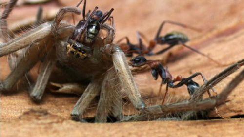 Bulldog Ants-semut banteng