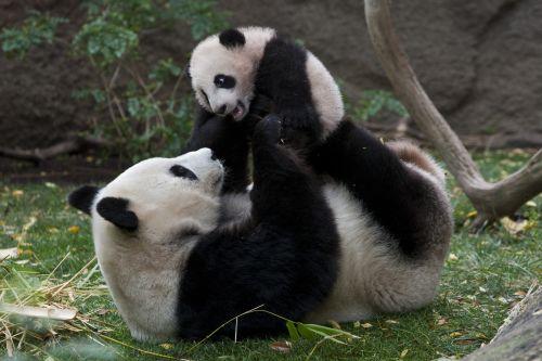 cute-panda-bears