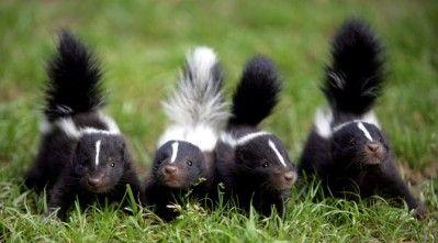 cute-skunk