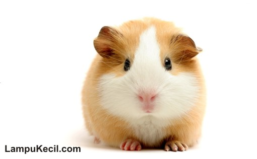 Hamster-lucu