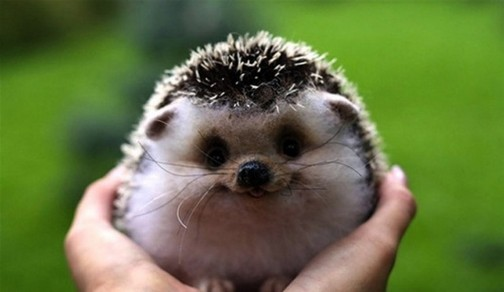 hedgehog-landak-mini