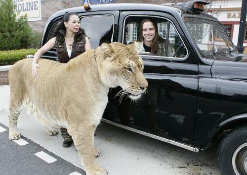 hercules-liger