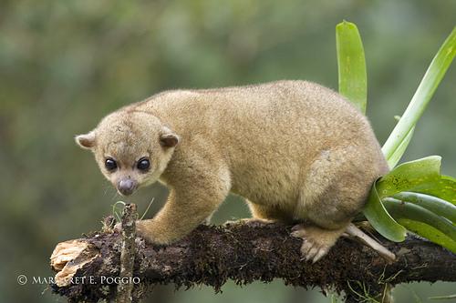 Kinkajous-cute