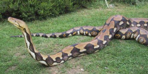 Foto ular sawah terbesar di dunia 30