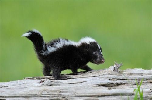 skunk-cute1