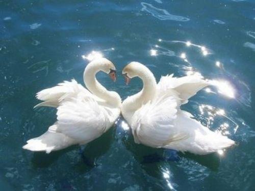 Swan-love-symbol
