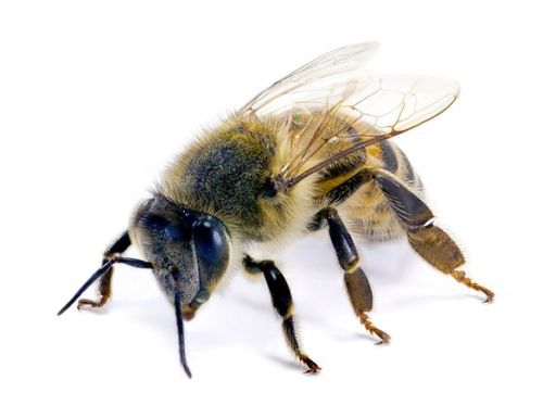 The Africanized honeybee