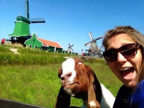 Foto lucu kambing selfie