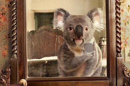 Foto lucu koala selfie