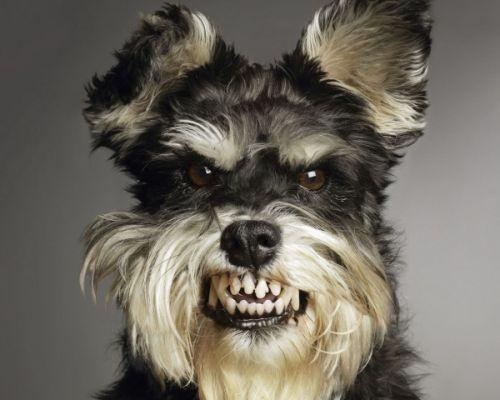 Gambar anjing kecil muka marah