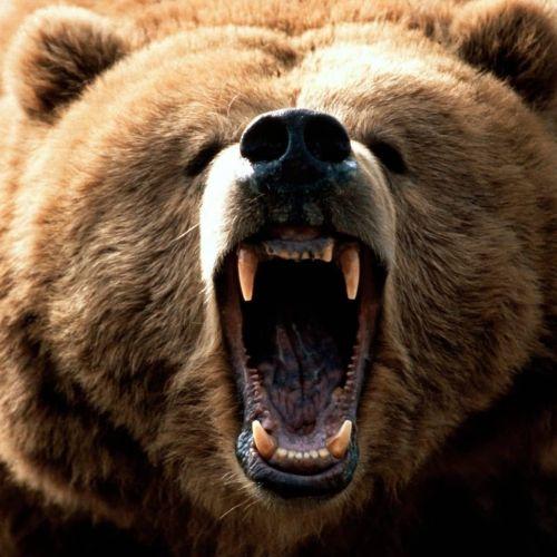 Gambar beruang yang marah