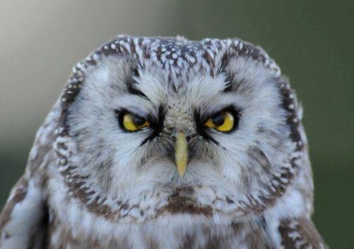 Gambar burung hantu bermuka marah