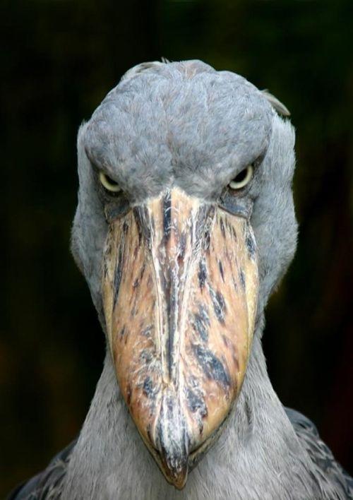 Gambar burung pemakan ikan yang marah