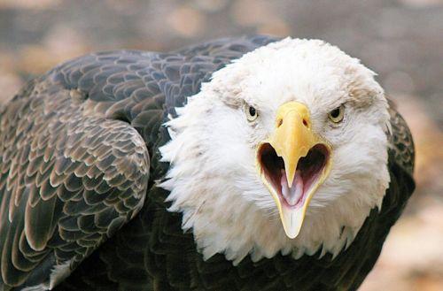 Gambar elang yang marah