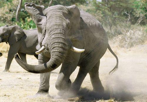 Gambar gajah yang marah