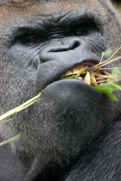 Gambar gorilla yang marah
