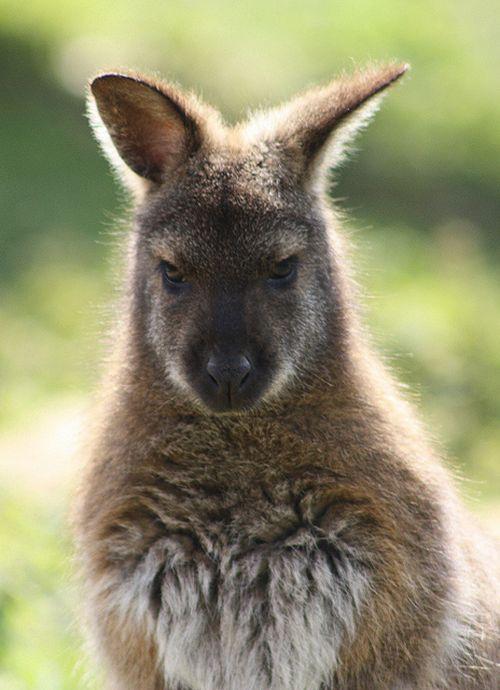 Gambar kanguru yang marah