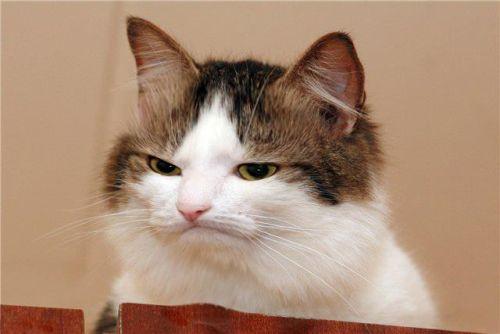Gambar kucing lucu yang marah
