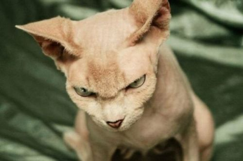 Gambar kucing yang sangat marah