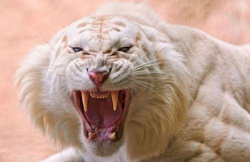 Gambar macan putih yang marah