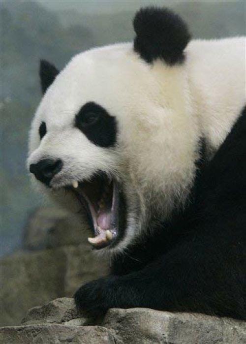 Gambar panda yang terlihat marah