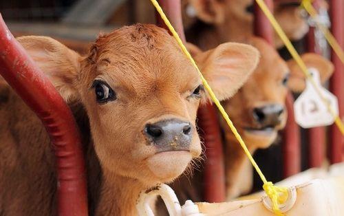 Gambar sapi yang marah