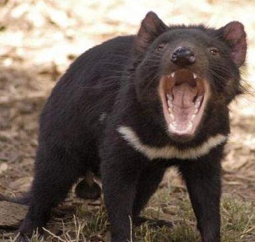 Gambar tasmania devil yang marah