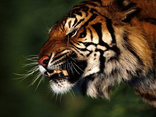 52+ Gambar Wajah Harimau Marah HD