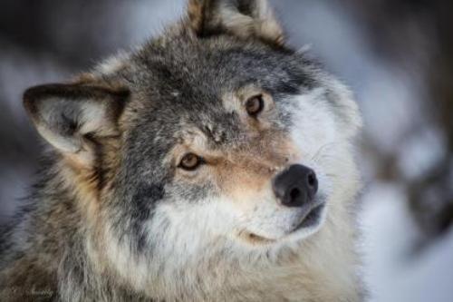 Grey Wolf (Serigala Abu-Abu)