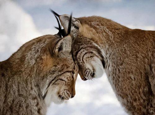 Kasing sayang hewan lynx pada pasangannya