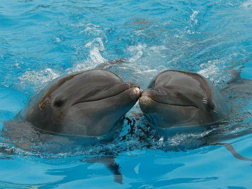 Kasing sayang lumba-lumba pada pasangannya
