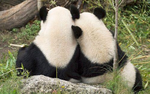 Kasing sayang panda pada pasangannya