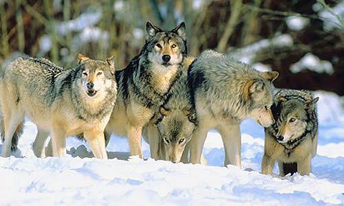 Kawanan Serigala di salju