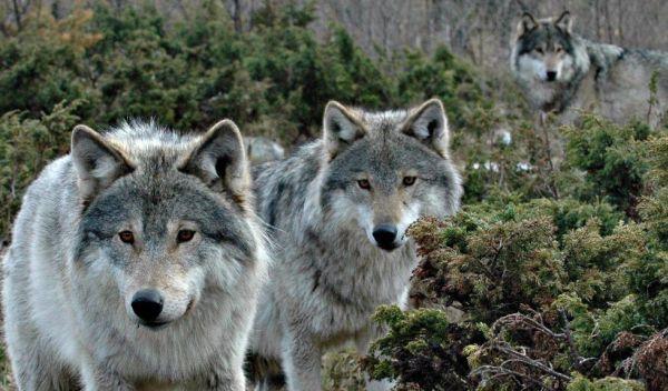 Sekawanan Serigala