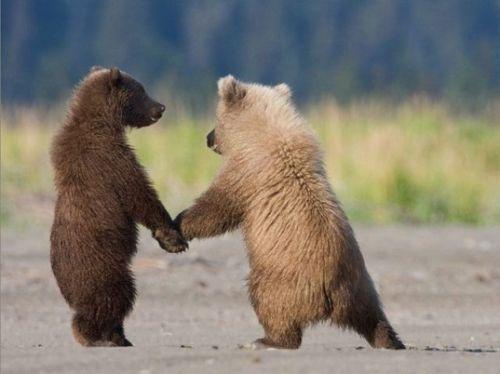 Sepasang beruang penuh kasih sayang