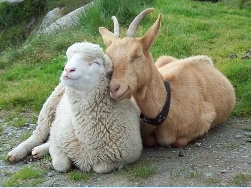 Sepasang domba dan kambing yang penuh kasih sayang