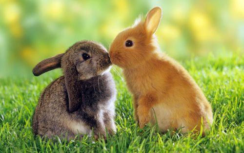 Sepasang kelinci penuh kasih sayang