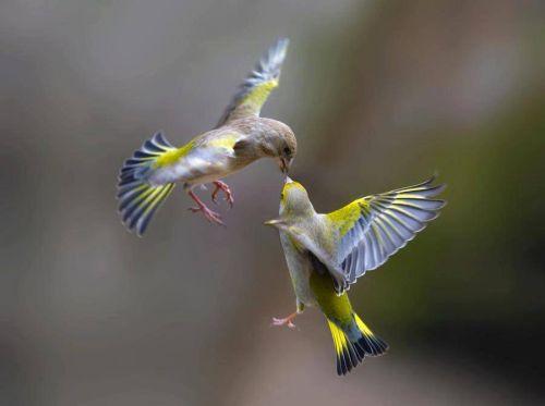 Sepasang yang burung jatuh cinta