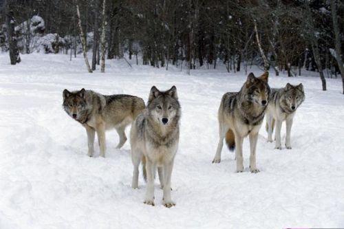 Serigala 3