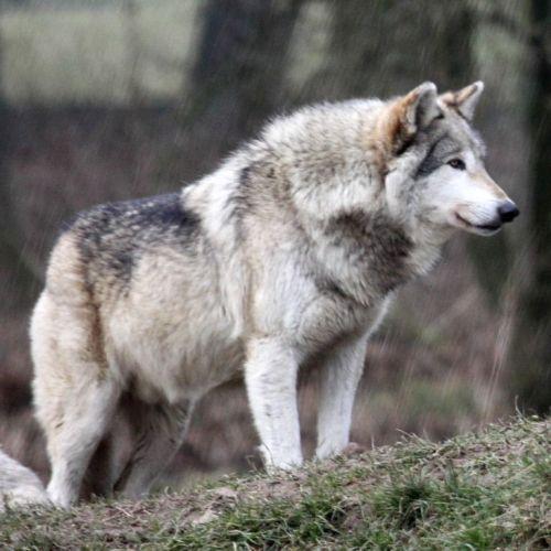 Serigala Abu-Abu (Grey Wolf)