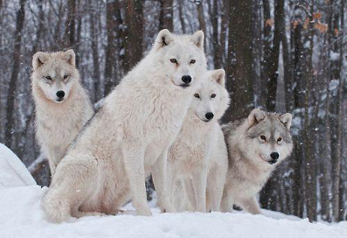 Serigala Artik