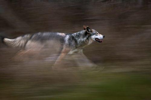 Serigala berlari